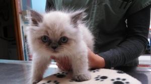 Felix the Himalayan at 8 weeks